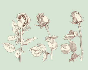 set of three roses, sketch, vector illustration
