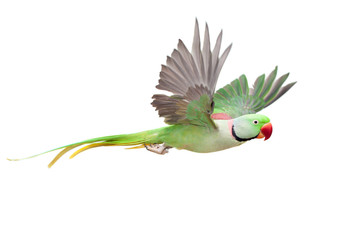Photo sur Toile Perroquets Flying big green ringed or Alexandrine parakeet