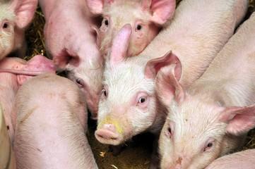 Obraz pigs - fototapety do salonu