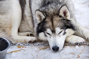 Husky, chien de traîneau enchaîné