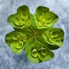 Euphorbia Helioscopia - Euforbia
