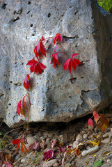 Rock with Autumn Ivy