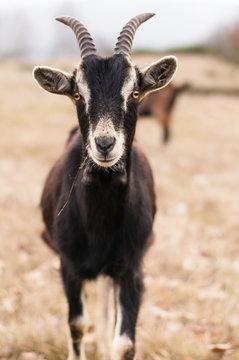 Photo goats