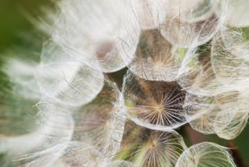 Fotorolgordijn Paardebloemen en water Dandelion with seeds