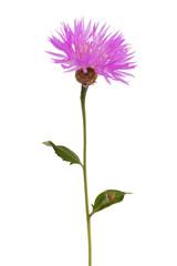 Wall Mural - Purple wild flower