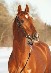 portrait of sorrel  horse . winter