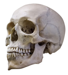 isolated single human skull