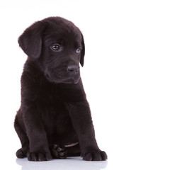shy labrador retriever puppy dog
