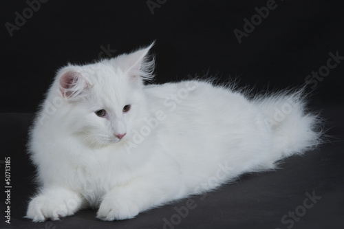 Gatto Bianco Stock Photo And Royalty Free Images On Fotoliacom