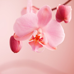 spring orchid pink flower