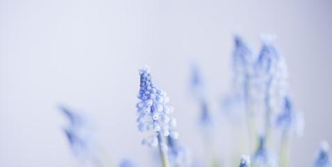 wiosna szafirki    Muscari botryoides