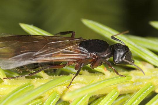 Macro photo of a winged Carpenter ant, Camponotus herculeanus