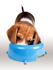 Eating beagle puppy portrait