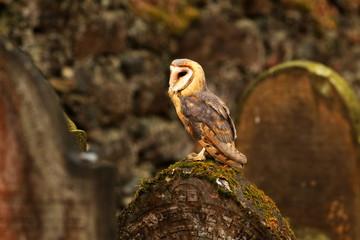 Canvas Print  - barn owl