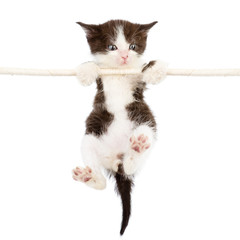 a cute kitten is climbing on the rope. isolated on a white