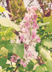 blooming lilac bush, tinted