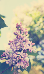 blooming lilac, tinted