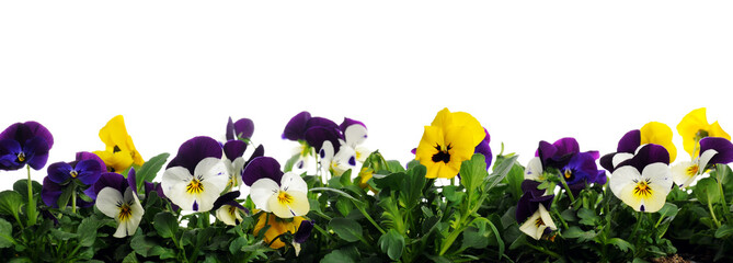 Photo sur Toile Pansies border of pansies