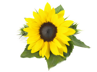 Sonnenblume mit Blätter