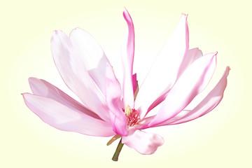 Magnolia flower pink-white