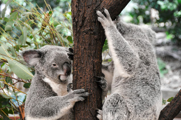 Koala bears in a eucalyptus gum tree in Queensland (Australia)