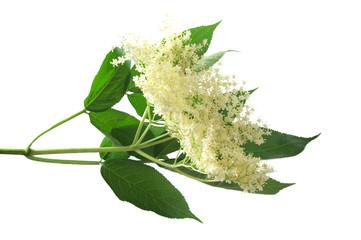 Obraz Fresh Sambucus nigra on a white background - fototapety do salonu