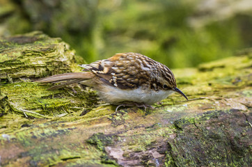 Treecreeper close-up