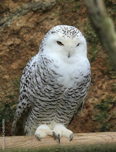 Chouette harfang des neiges perch e photo libre de droits sur la banque d 39 images - Image de chouette gratuite ...