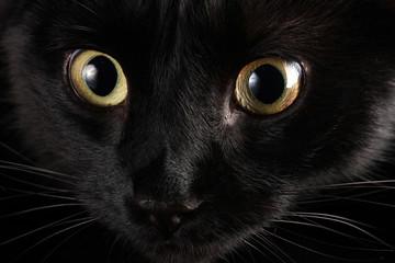 Black cat, close up
