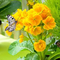 Wall Mural - Schmetterling auf einer Primelblüte