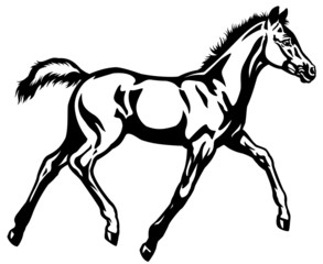 foal black white