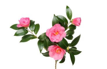 Camellia flowers and foliage