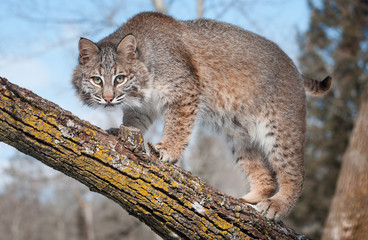 Fotomurales - Bobcat (Lynx rufus) Stare at Viewer From Tree Branch