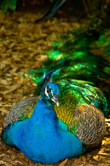 Resting Peacock in Shade