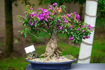 beautiful bonsai bougainvillea in a botanical garden