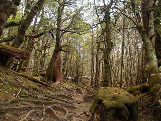 Rain forest in Cradle Mountain - Lake St Clair National Park