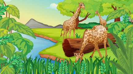 Foto op Plexiglas Rivier, meer Three giraffes at the riverside
