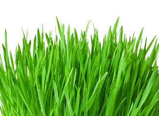 Green grass with water drops isolated on a white background