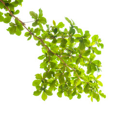 Wall Mural - green leaves and branches on white background