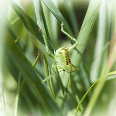 Grasshopper hiding in the grass