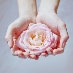 Pink rose in women's hands
