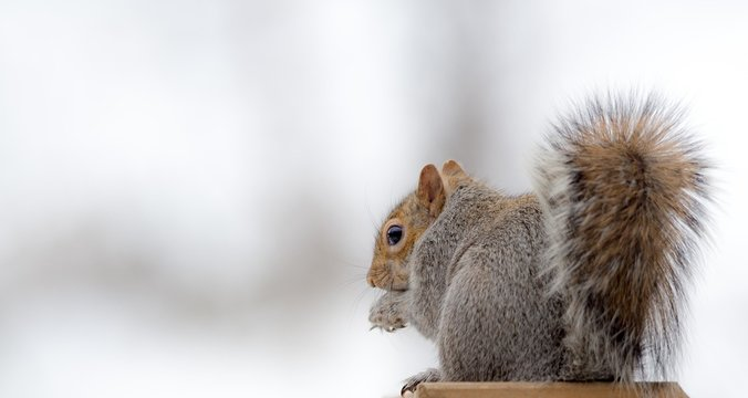 Grey Squirrel in the Snow
