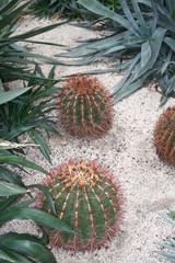 Cactus Ferocactus Staindesii