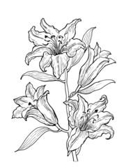Figure blooming lilies