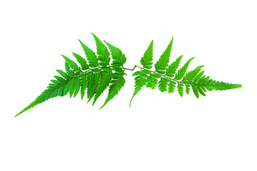 Fern isolated on  a white background