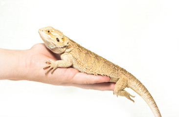 lizard pogona viticeps sitting in hand