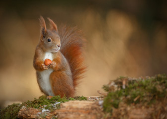 Red squirrel looking right