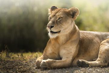 sguardo di leonessa