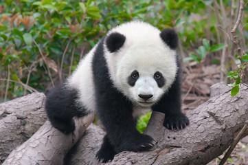 Cute young panda cub
