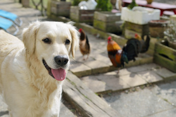 golden retriever with chicken in garden